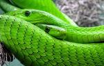 Что ждет Змею в год Петуха 2017