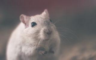 Год Петуха для Крысы женщины и мужчины